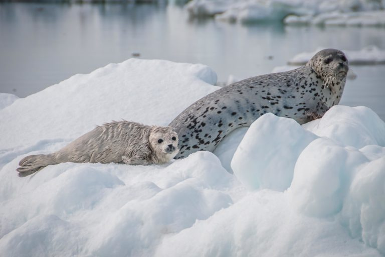 Spotted seal mother and pup in the Bering Sea. Image courtesy of NOAA Fisheries.