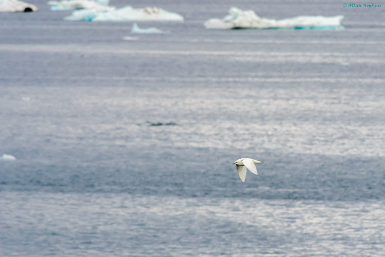 Ivory Gull (Pagophila eburnea) in flight. Changes in phytoplankton abundance — because these microorganisms are at the bottom of the food chain — has the potential to impact species farther up the chain including fish, birds and even large mammals. Image by Allan Hopkins licensed under CC BY-NC-ND 2.0.