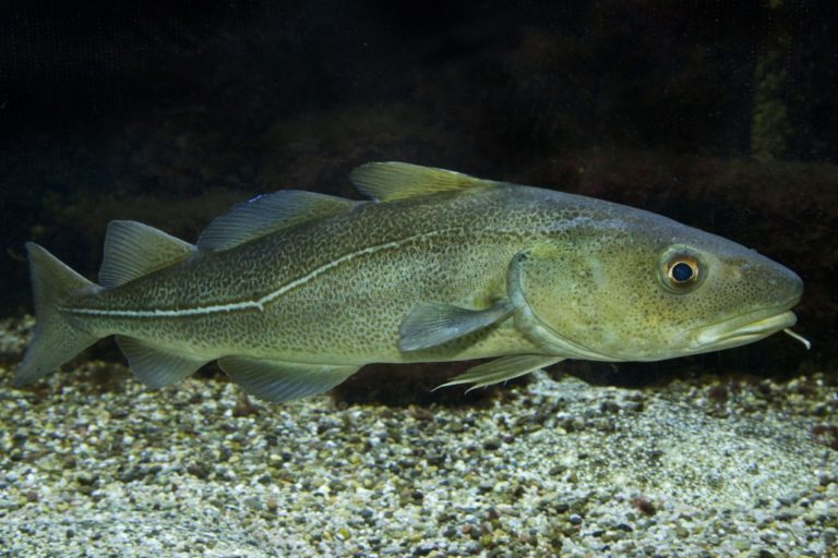 Arctic cod (Boreogadus saida), also known as polar cod, resting in a sea ice gap. This species historically is found farther north than any other fish, with a range spanning the Arctic seas off northern Russia, Alaska, Canada and Greenland. As climate change advances, its dominant place may be challenged. Image courtesy of earth.com.