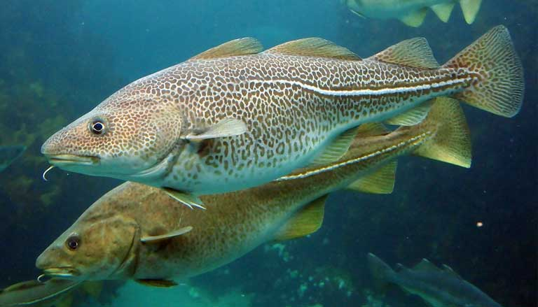 Atlantic cod (Gadus morhua) are moving farther northward, deeper into the Arctic Ocean and likely to lure fishing fleets there. Image by Joachim S. Müller found on Flickr.