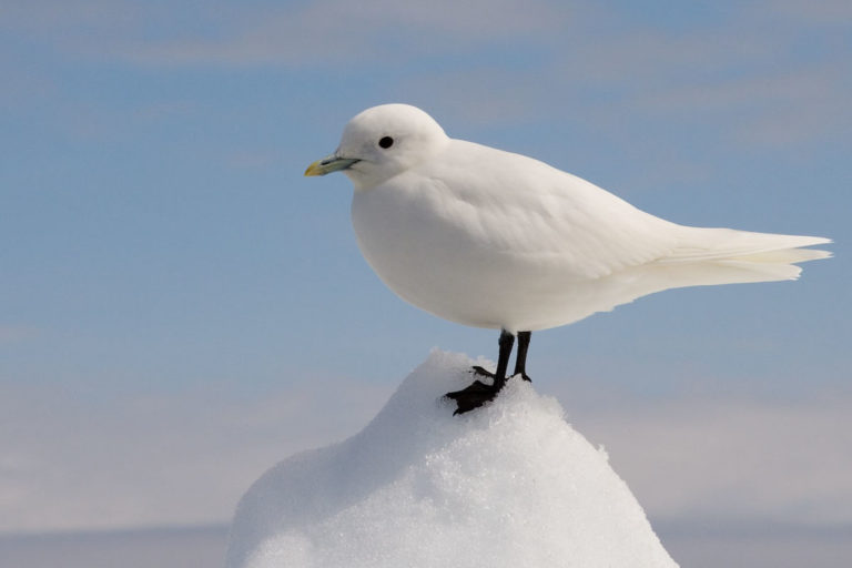 Ivory Gull (Pagophila eburnea). Image by jomilo75 is licensed CC BY 2.0.under