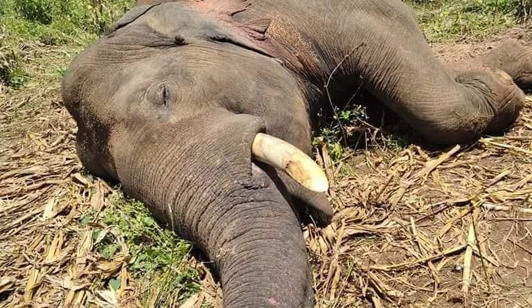 Revatha was one of five elephants killed by electrocution in the space of a week in North Central province. Image courtesy of Mahinda Prabath.