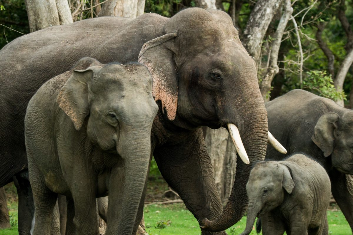 Death of a Sri Lankan icon highlights surge in elephant electrocutions