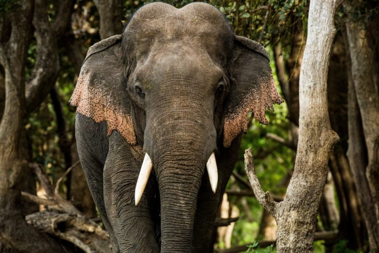 Revatha stood nearly 3 meters (10 feet) tall. While his tusks were short, their position was thought to give him an edge in fights with other males for territorial dominance. Image courtesy of Rajiv Welikala.