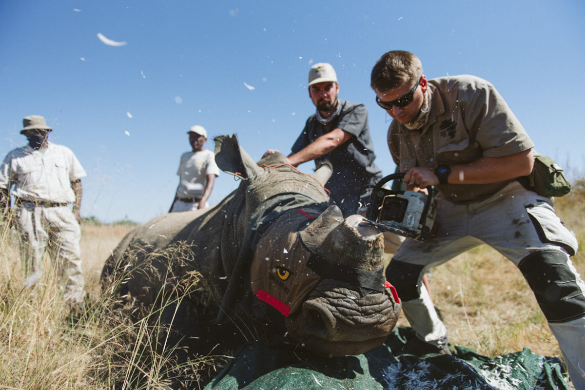 South African dehorning initiative aims for 'zero poached' white rhinos