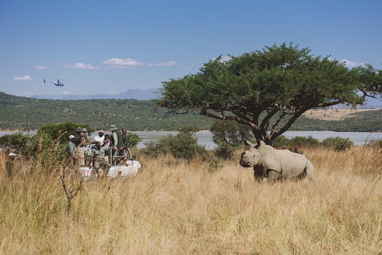 A dehorned rhino in Spioenkop Nature Reserve. Image by Casey Pratt / Love Africa.