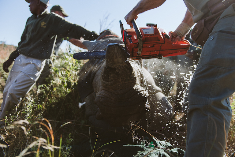 Conservationists cutting off the horn of a sedated rhino in Spioenkop Nature Reserve. Image by Casey Pratt / Love Africa.
