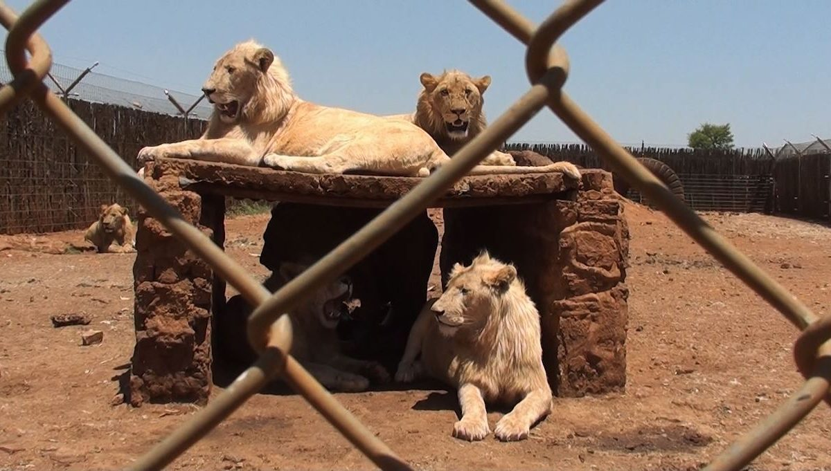 South Africa pulls the plug on controversial captive lion industry