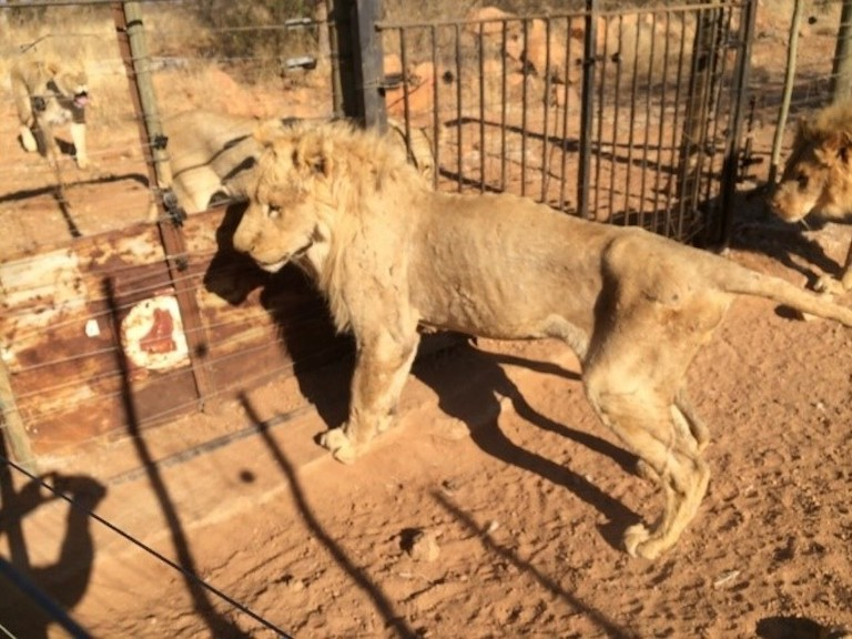 Lions at a captive breeding farm in South Africa Image courtesy of Blood Lions.