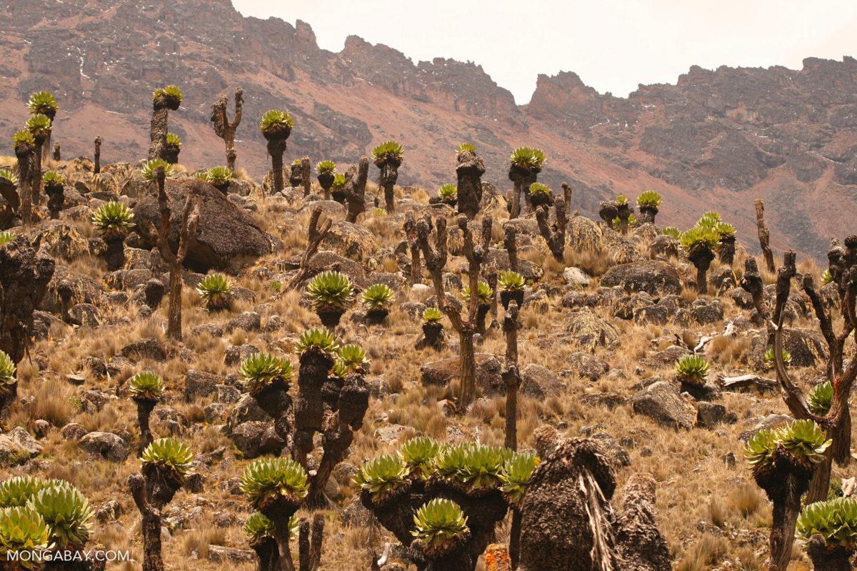 Vegetation on Mount Kenya. Photo credit: Rhett A. Butler