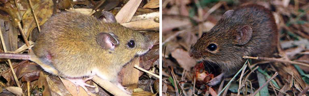 Two of the primary animal reservoirs for hantavirus cardiopulmonary syndrome, the black-footed pygmy rice rat (Oligoryzomys nigripes; above) and the hairy-tailed bolo mouse (Necromys lasiurus). Images courtesy of Thomas Puttker and Pablo Gonçalves.