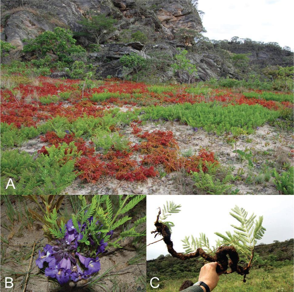 This may look like a meadow of small groundcover plants (A), but it's actually the canopy of a Jacaranda decurrens tree in Brazil's Cerrado. In addition to leaves, the tree also flowers aboveground (B). Like conventional trees, the underground branches of J. decurrens are woody (C). Photo courtesy of Alves et al., 2013.