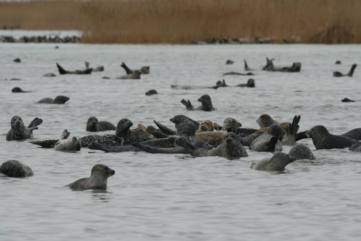 Caspian seals near Durnev Island in the Caspian Sea. Image courtesy of Simon Goodman.