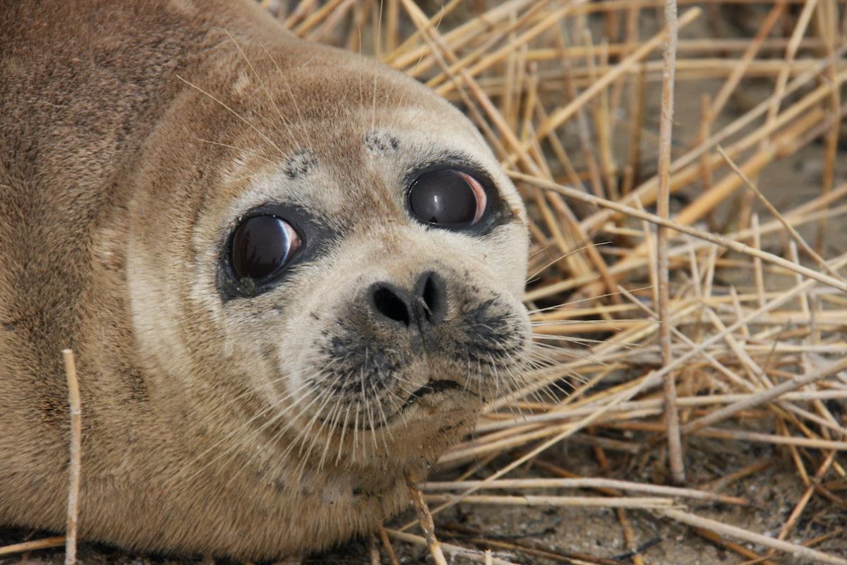 Latest mass stranding raises concerns for endangered Caspian seals