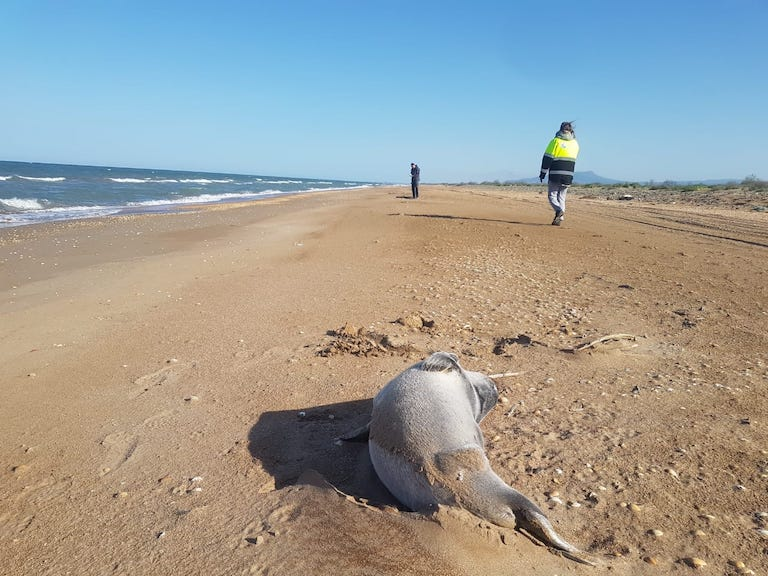 One of the deceased Caspian seals found along Russia's Dagestan coast in May 2021. Image courtesy of Viktor Nikiforov.