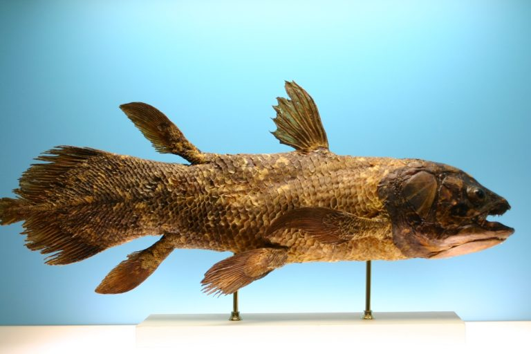 Mounted L. chalumnae specimen on display at the Museo civico di Storia naturale in Comiso. Image by