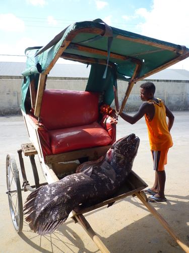 A local fisherman from the St Augustin area, photographed with a massive coelacanth that was transported to a fisheries research centre by rickshaw in May 2010. Image: by Thierry Cordenos.