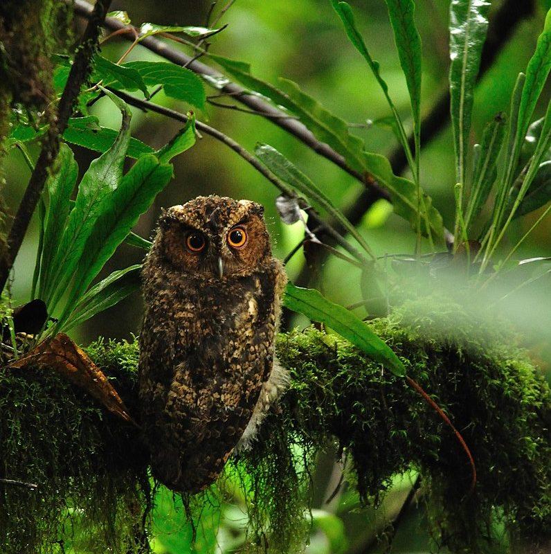 Photo of the Sumatran subspecies (O. b. solokensis). Image by Seshadri.K.S via Wikimedia Commons (CC BY-SA 4.0).