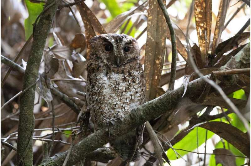 """First photo of a Bornean Rajah scops-owl (O. b. brookii). """"Being able to document this vanished bird was really an incredibly exciting moment, and not something I ever really dreamed of because my work wasn't focused on exploring remote and little-known places, or purposely searching out these forgotten species,"""" Boyce told Mongabay. Image by Andy Boyce."""