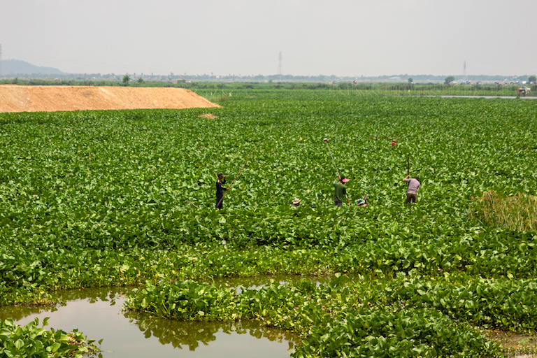 Five people steer their boat through the vegetation atop the surface of Boeung Tamok. Image by Gerald Flynn for Mongabay.
