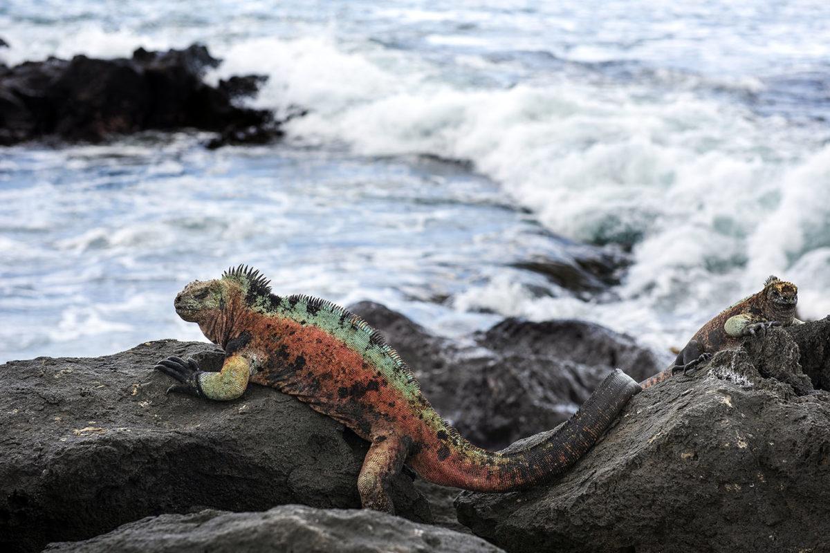 A Floreana Marine Iguana sitting on rocks near the ocean on Floreana Island. Photo credit: Andrew S. Wright