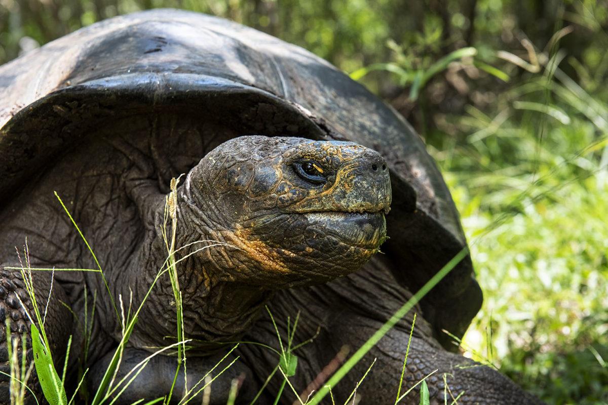 Floreana Giant Tortoises went extinct on Floreana Island. However, tortoises on Isabela Island were found to have Floreana Giant Tortoise genes. Conservationists with Galápagos National Park Directorate have created a breeding program to reintroduce the species to Floreana. Photo credit: Andrew S. Wright