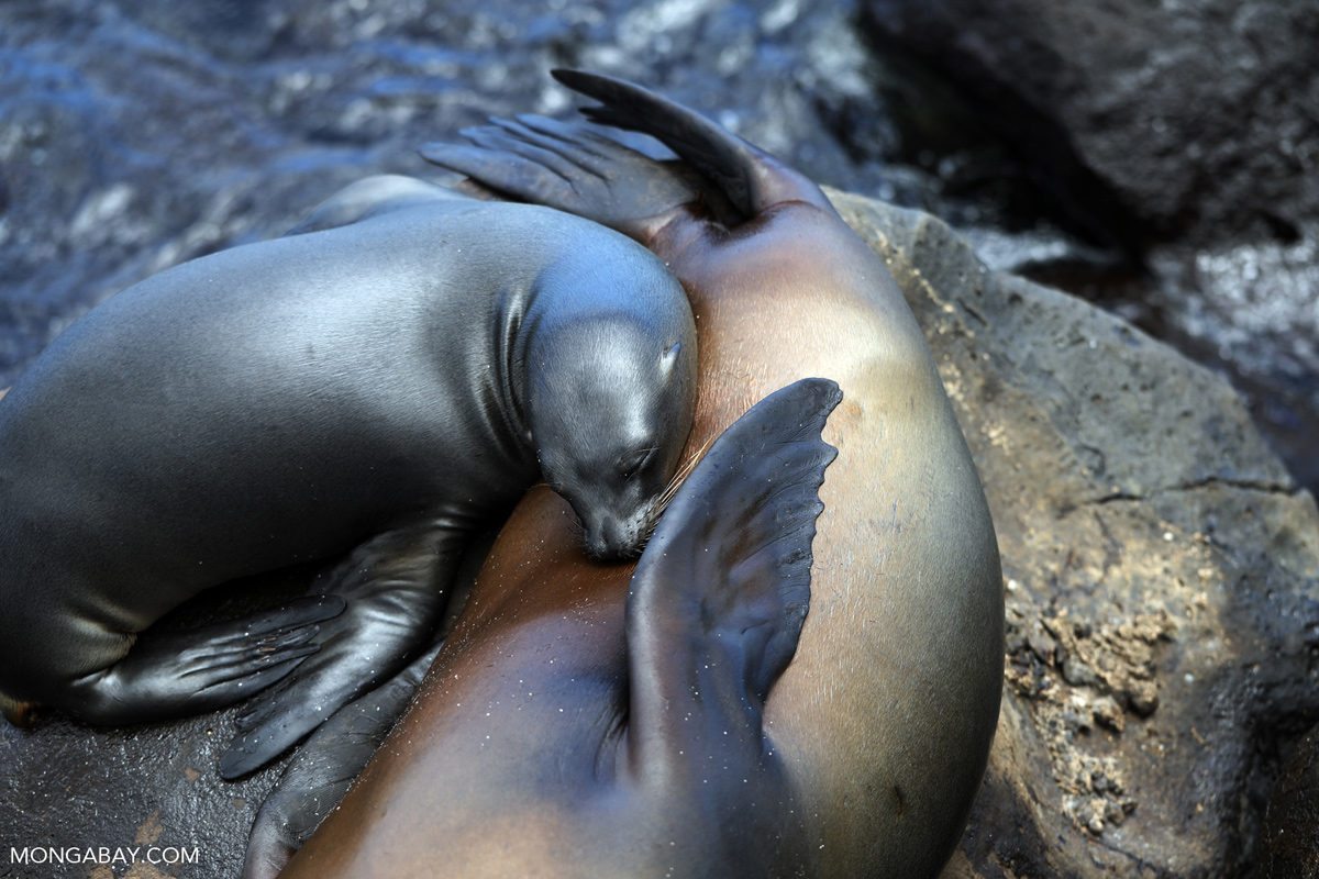 Sea lions in the Galapagos. Photo credit Rhett A. Butler.