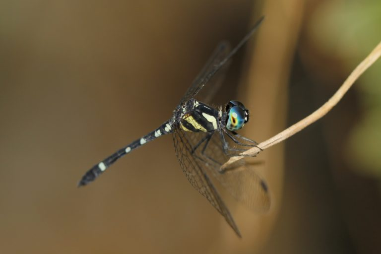 A distinct metallic-blue dragonfly species endemic to Sri Lanka, Yebury's elf (Tetrathemis yerburyii) occurs in the southwestern and eastern parts of the island. Image courtesy of Amila P. Sumanapala.