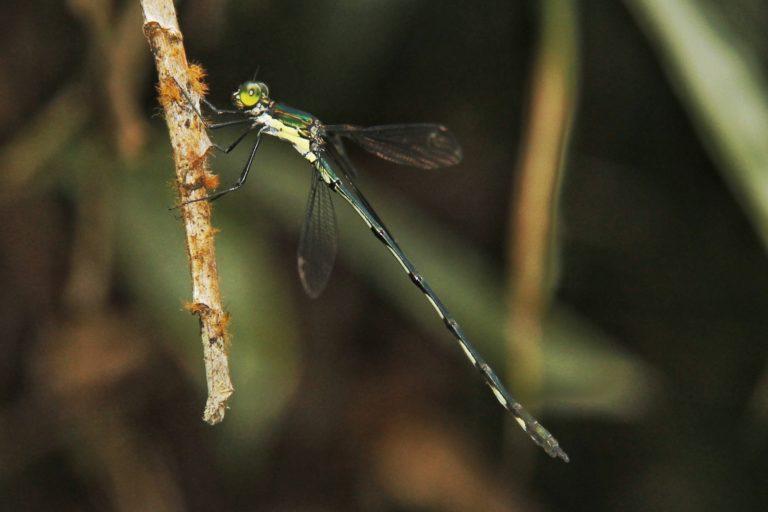 The Sri Lanka emerald spreadwing (Sinhalestes orientalis) is a globally critically threatened damselfly species. Image courtesy of Amila P. Sumanapala.