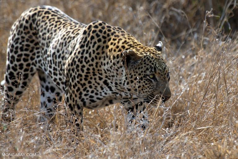 An African leopard in South Africa's Kruger National Park. Image by Rhett A. Butler/Mongabay.