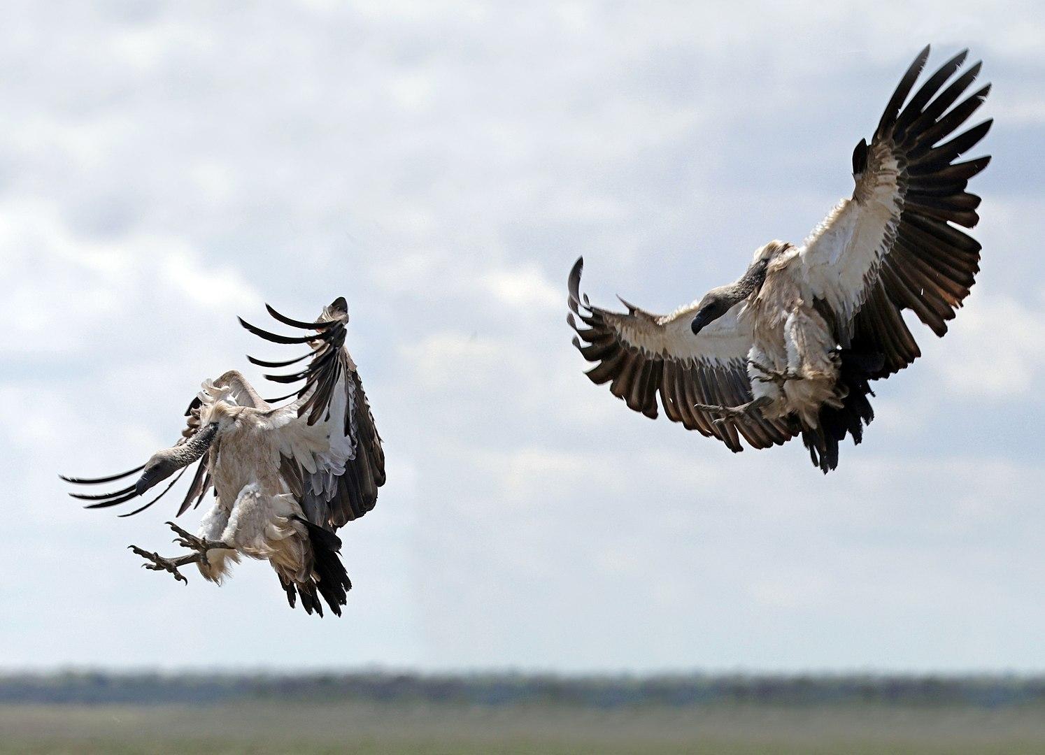 White-backed vulture (Gyps africanus) adult landing composite, Etosha National Park, Namibia. Photo credit: Charles J. Sharp
