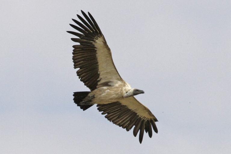 African White-backed Vulture (Gyps africanus) in flight over the Masai Mara, Kenya. Photo credit: Lip Kee