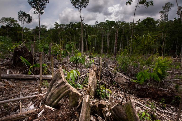 Deforestation on the Tamshi (formerly Cacao del Peru Norte) plantation. Image by Diego Pérez.