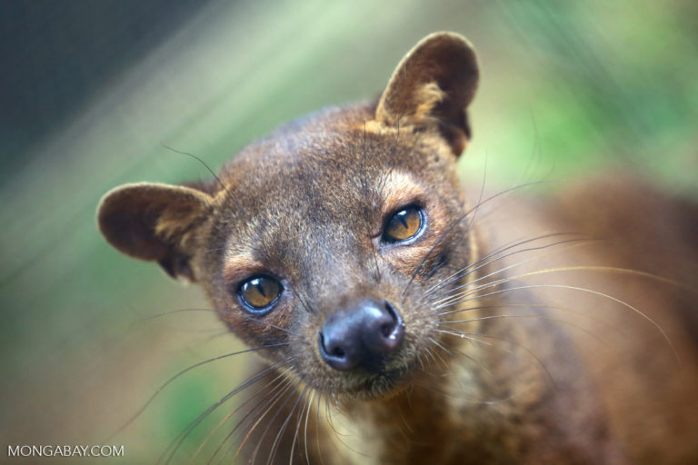 The fossa (Cryptoprocta ferox) is a carnivorous species endemic to Madagascar. It is protected from hunting in some areas by a fady linked to the belief that the animals consume the bodies of ancestors buried in the forest. Image by Rhett A. Butler/Mongabay.