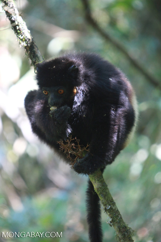 The Milne-Edwards' sifaka (Propithecus edwardsi) is a species of lemur endemic to Madagascar. It is classified as endangered, and is protected from hunting by Malagasy law and by a fady. Image by Rhett A. Butler/Mongabay.