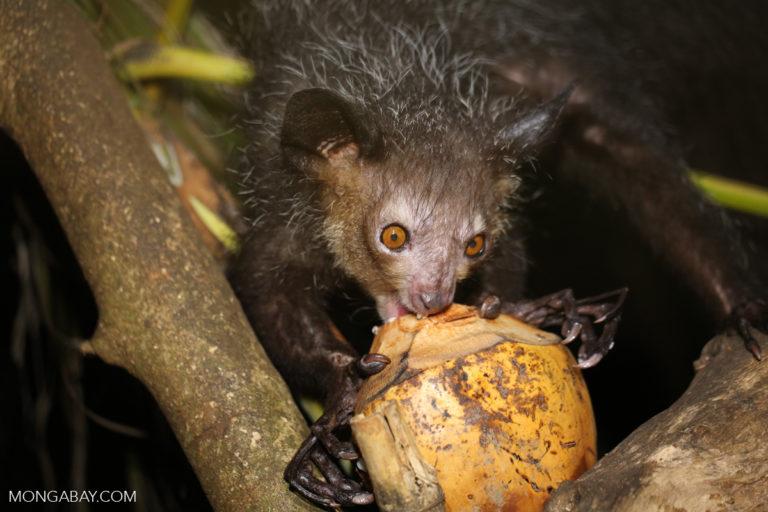 The aye-aye (Daubentonia madagascariensis), an endangered species of lemur, is hunted because it is believed to carry evil spirits. Image by Rhett A. Butler/Mongabay.