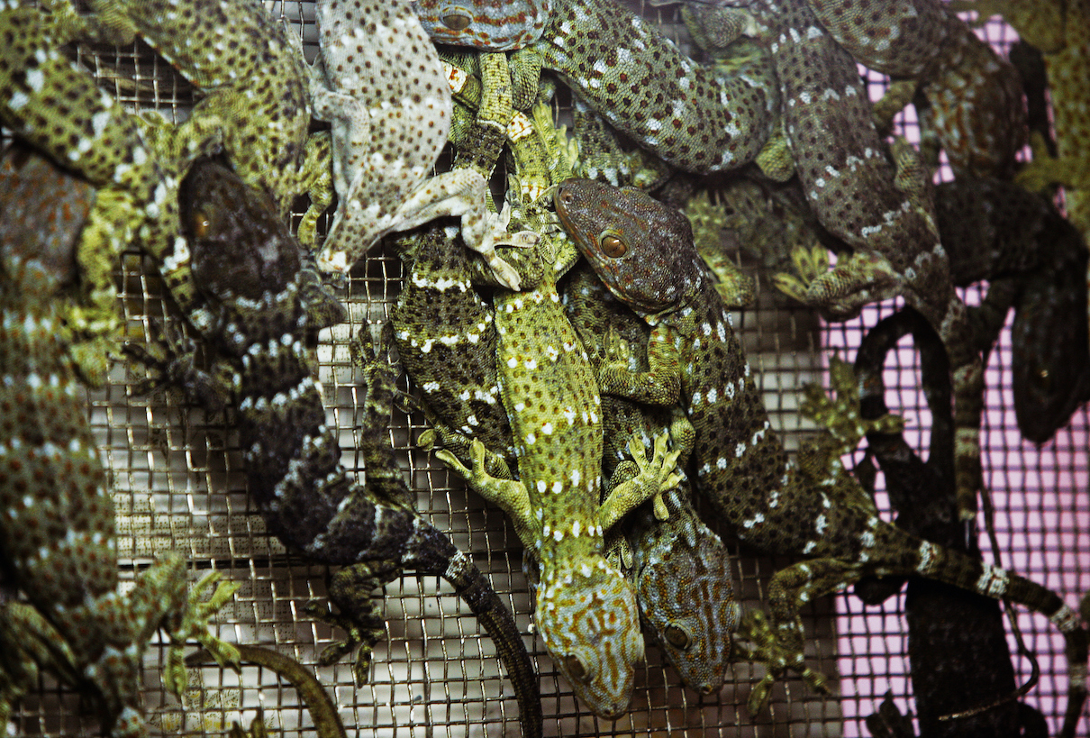 Tokay geckos being sold for use in traditional Chinese medicine in Hong Kong. Photo by Paul Hilton / Earth Tree Images.