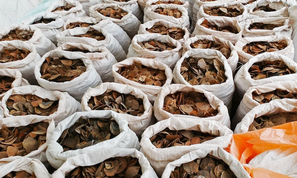 Pangolin scales seized in Singapore in April 2019. Photo by Paul Hilton / Earth Tree Images.