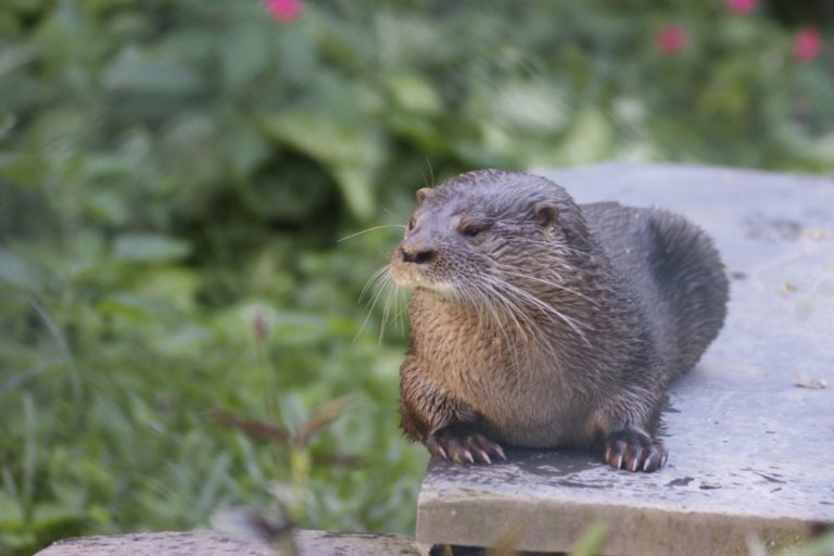 Neotropical river otter by Sabrina Bettoni