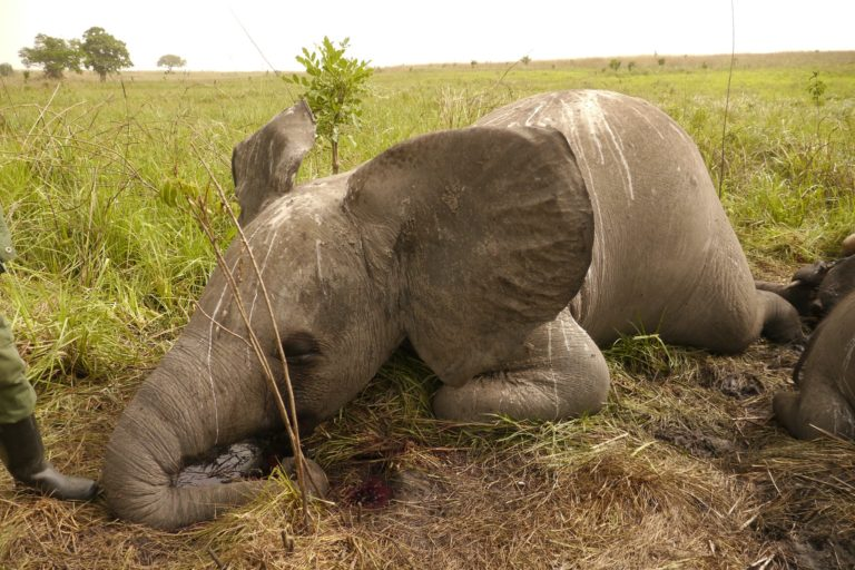 Poached elephant in Garamba National Park, DRC. Image by Nuria Ortega/African Parks via Flickr