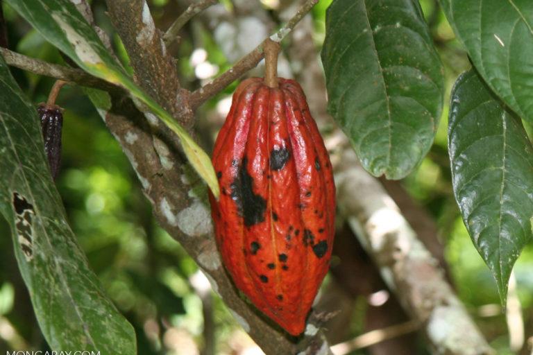 Cacao pod in Sulawesi, Indonesia. Photo credit: Rhett A. Butler