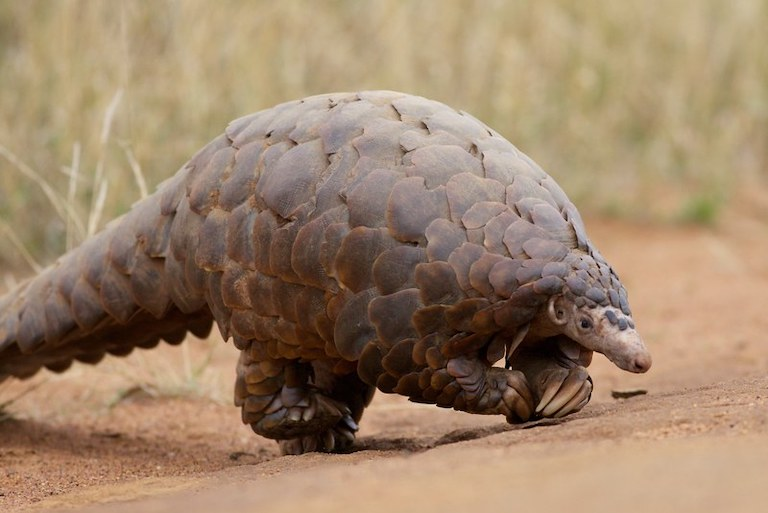 Giant pangolins (Smutsia gigantea) are listed as endangered by the IUCN. In addition to poaching - pangolins are the world's most trafficked animals - habitat loss is also a major threat. Image by David Brossard via Flickr (CC BY-SA 2.0.)