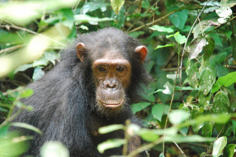 Africa's largest population of eastern chimpanzees live in Bili-Uéré. Image by gombe069 via Wikimedia Commons (CC BY-SA 2.0).