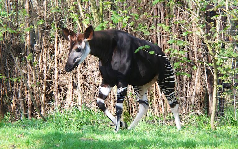 Okapis (Okapia johnstoni) are related to giraffes. Image in the public domain.