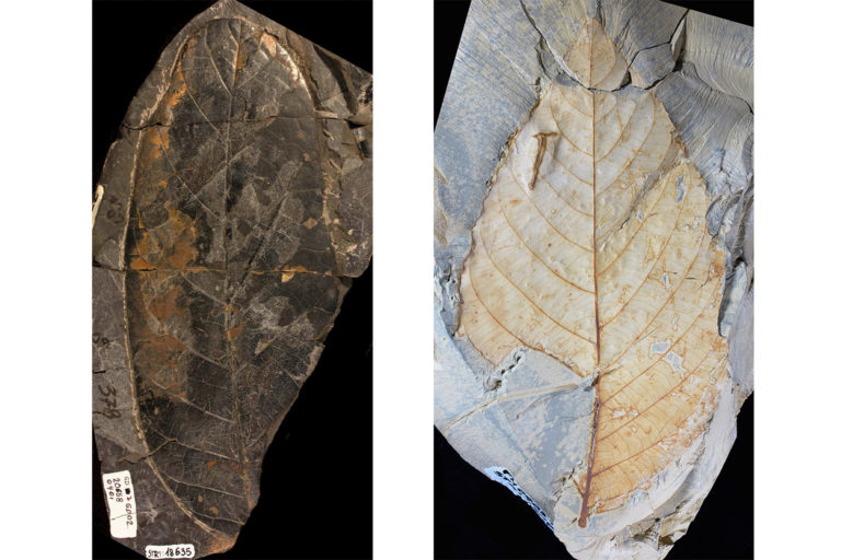 A flowering plant leaf fossil from the Maastrichtian Guaduas Formation in Colombia, 70 million to 66 million years old, left, and a fossilized leaf of the willow family from the Paleogene in Colombia, 58 million to 60 million years old.