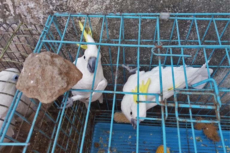 Seized sulphur-crested cockatoo (Cacatua galerita eleonora) in East Java, Indonesia.