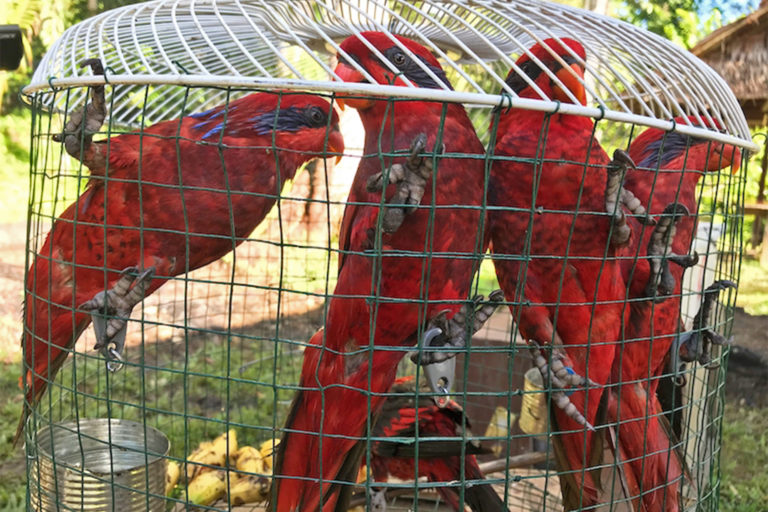 Blue-streaked lory (Eos reticulata) confiscated from traders, now located at Kembali Bebas, as avian rescue, rehabilitation and release center located on the Indonesian island of Seram.