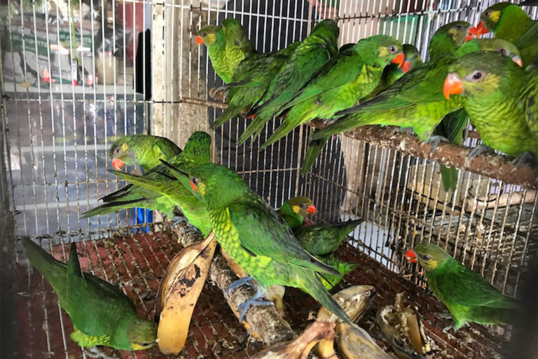 Lorrikeets (Trichoglossus sp.) in a bird market in the Indonesian city of Makassar.