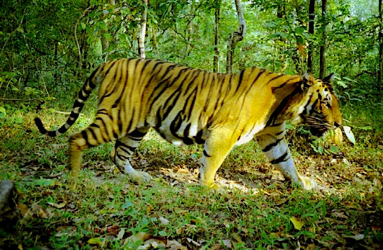 Indochinese tiger caught on camera trap in Huai Kha Khaeng protected area, Thailand. Image by Sukmasuang via University of Wisconsin-Madison's Silivis Lab.