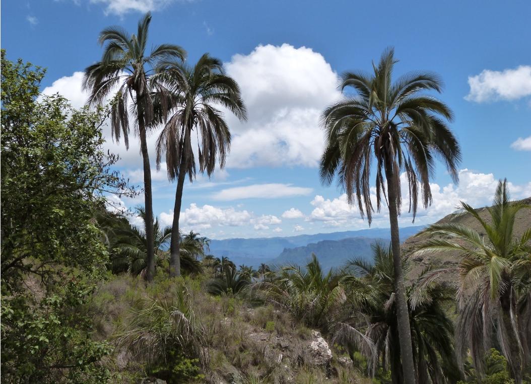 Janch'icoco palms in El Palmar. Image by Claire Wordley.